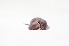 Two baby of a mouse Royalty Free Stock Images