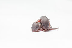 Two baby of a mouse Stock Image