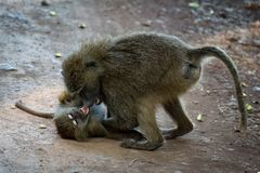 Two baby olive baboons fight on track royalty free stock image