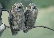 Two baby owls. Two baby short eared owls Royalty Free Stock Images