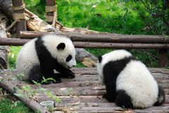 Two baby pandas are playing Stock Photo