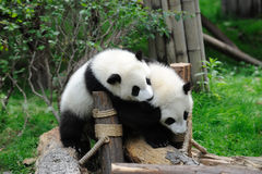 Two baby pandas are playing Stock Images