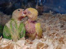 Two baby parrots enjoying each others company. royalty free stock photo
