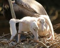 Two baby Pelican`s stretching. Two young Pelicans stretching out in nest Royalty Free Stock Photos