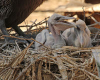 Two baby Pelicans. Two baby brown Pelicans in a nest under mother Royalty Free Stock Photos