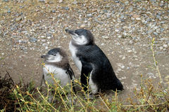 Two baby penguins Stock Images