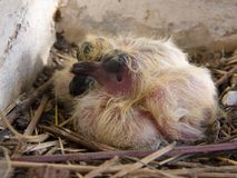 Two baby pigeon. New born pigeon sleeping Royalty Free Stock Photos