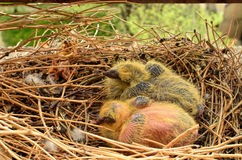 Two baby pigeons Royalty Free Stock Photos