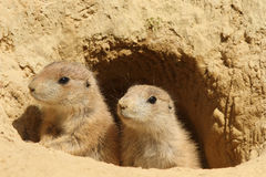Two Baby Prairie Dogs Looking Out Of Their Burrow Stock Photos