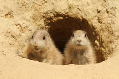 Two baby prairie dogs looking out of their burrow. Animals: Two baby prairie dogs looking out of their burrow royalty free stock photography