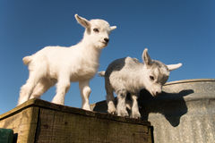 Two baby pygmy goats. Newborn pygmy goats like to play and rest Stock Images