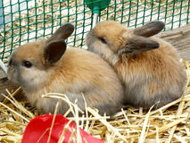 Two baby rabbit Stock Image