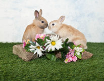Two Baby Rabbits Royalty Free Stock Photos