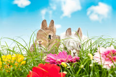 Two baby rabbits in a flower field Stock Photos
