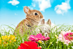 Two baby rabbits in a flower field Royalty Free Stock Photos