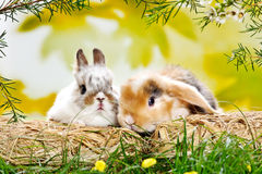 Two baby rabbits Stock Photography