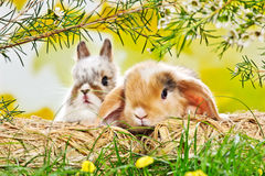 Two baby rabbits Stock Photos