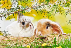 Two baby rabbits Royalty Free Stock Images