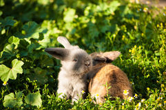 Two baby rabbits Royalty Free Stock Image