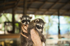 Two Baby Raccoons at Animal Rescue. Two baby racccoons at an animal rescue shelter in Costa Rica Stock Photography