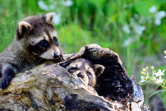 Two baby raccoons coming out of a hollow log. Thwo baby raccoons in a hollow log stock image