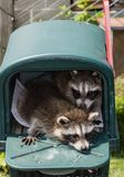 Two baby raccoons hanging out in a mailbox. Two baby raccoons are in a dark green plastic mailbox with the red flag up. The mailbox is outside in the sun in a royalty free stock photography