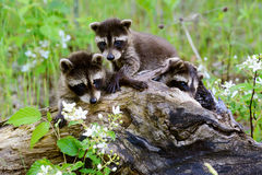 Two baby raccoons playing in a hollow stump. Royalty Free Stock Photo