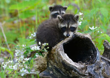 Two baby raccoons playing in a hollow stump. Royalty Free Stock Photos