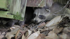 Two baby raccoons poke their noses out from underneath a log. Closeup stock video