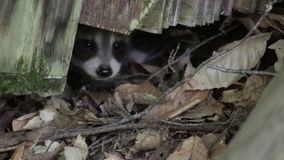 Two baby raccoons poke their noses out from underneath a log. Closeup stock video footage