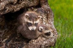 Two Baby Raccoons (Procyon lotor) Crawl Over Each Other Stock Image