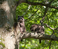 Two baby raccoons in a tree Stock Photography