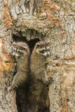 Two Baby Raccoons In A Tree Stock Image