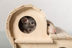 Two baby rats Stock Photography