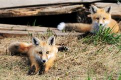 Two Baby red Fox Kits near den Stock Photos
