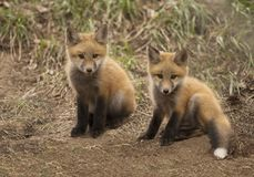 Two baby red fox kits outside of their forest den Stock Photo