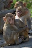 Two baby rhesus macaques Stock Photography
