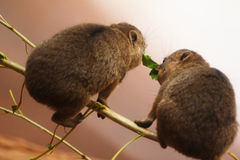Two Baby Rock Hyraxes Stock Images