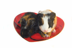 Two baby rodents on the heart-shaped plate. Two baby Guiniea pigs on the heart-shaped plate isolated Royalty Free Stock Photos