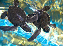 Two baby sea turtles stock images
