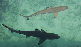 Two Baby Shark In The Sea Stock Photos