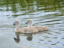 Two baby Signets on River  -  together side by side Royalty Free Stock Photo