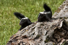 Two Baby Skunks on a Log with Tails Up. Cute little baby skunks on a log looking in the same direction with tails up Stock Photos