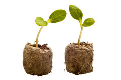 Squash seedlings with root ball Royalty Free Stock Photos