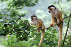 Two baby squirrelmonkey out on adventure. Two small squirrel monkey looking for trouble and something to eat (focus on one on the left stock image