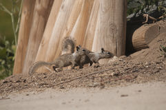 Two Baby Squirrels. Two baby California Ground squirrels (Otospermophilus beecheyi) playing in Ramona, San Diego County, California Royalty Free Stock Image