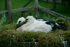 Two baby storks Stock Image