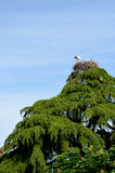 Two baby storks in nest. On top of  tree Stock Image