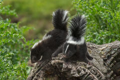 Two Baby Striped Skunks (Mephitis mephitis) Atop Log Royalty Free Stock Image