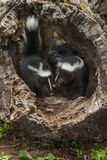 Two Baby Striped Skunks (Mephitis mephitis) Stock Image